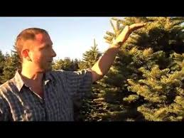 7 best noble fir christmas trees images on pinterest firs
