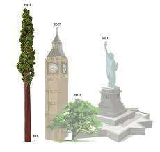 hyperion tree a scaled replica of the tallest living tree in the