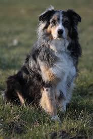 australian shepherd dog australian shepherd free pictures on pixabay