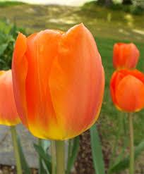 tulip lightning sun giant darwin hybrids tulips flower bulb