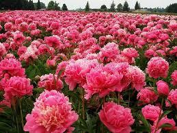 pianese flowers beautiful peony flowers paeony peony flower peony
