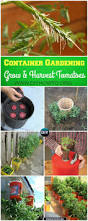 gardening tips to grow tomatoes harvest in containers