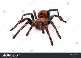 large greenbottle blue tarantula spider orange stock photo