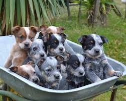 australian shepherd cattle dog mix best 25 blue heeler dog ideas on pinterest cattle dogs facts