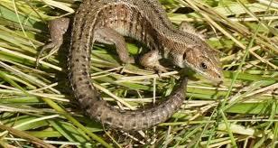 Seeking Lizard If You Want Lizards To Come Calling Put Out A Welcome Mat
