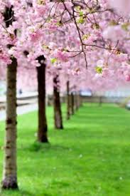 cherry blossom tree facts cherry blossom tree lovetoknow