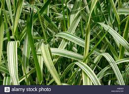 variegated ornamental grass stock photo royalty free image