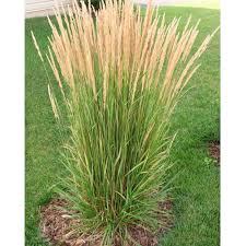 blooming now deer resistant karl foerster feather reed grass