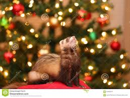 ferret in front of christmas lights stock photo image 63486341