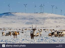 reindeer browsing on the flats below the banner wind project