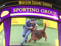 bluetick coonhound westminster westminster dog show u0027best in show u0027 winner breed runner ups