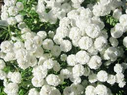 White Flowers Pictures - best 25 tree with white flowers ideas on pinterest variegated