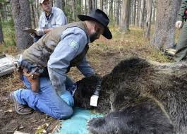 Bears Montana Hunting And Fishing - routes out of isolation for yellowstone grizzlies montana