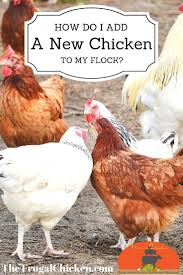 2899 best chickens images on pinterest backyard chickens