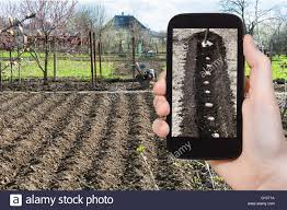 When To Plant Spring Vegetable Garden by Gardening Concept Farmer Photographs The Planting Of Potatoes In
