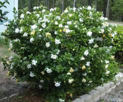 the pretty gardenia outdoor plants wearefound home design