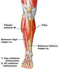 Human Anatomy Muscle 56 Best Anatomy References Leg Images On Pinterest Anatomy