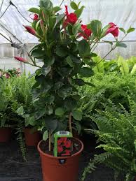 mandevilla splendens plant trained up pyramid trellis 60cm tall