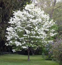 best 20 white flowering trees ideas on no signup