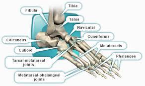 Calcaneus Anatomy Depuy Com Foot U0026 Ankle Anatomy Depuy