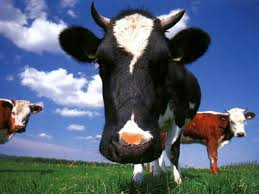 high def collection 46 full hd cow wallpapers in hqfx 64itj