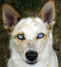 australian shepherd australian cattle dog mix an australian cattle dog who looks just like indy puppy