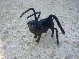 Spider Dog Halloween Costume Gus Tarantula Pug Flickr