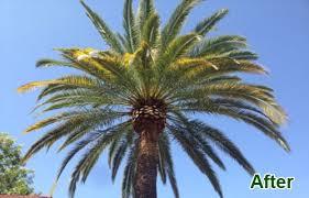 palm tree trimming san diego ca palm tree removal el cajon la