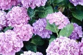 Fertilizer For Flowering Shrubs - homemade fertilizer for a hydrangea bush home guides sf gate
