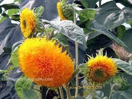 teddy sunflowers teddy sunflower sunflowers