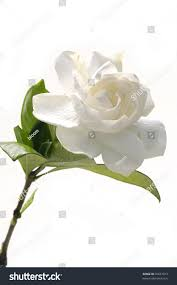 Gardenia Flower Single Gardenia Flower Stock Photo 35637013 Shutterstock