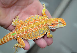 bearded dragons storybook