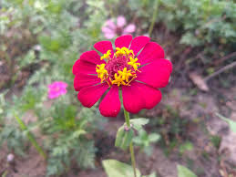 zinnia flowers zinnia