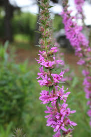 native alberta plants purple loosestrife md of taber ab