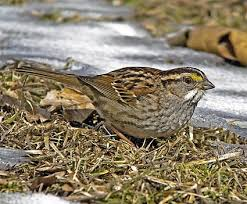 Nj Backyard Birds by House Sparrow Identification All About Birds Cornell Lab Of