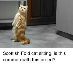 Cat Sitting Meme - scottish fold cat sitting is this common with this breed meme