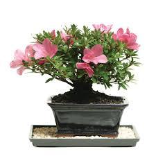 Azalea Topiary High Indoor Plants Garden Plants U0026 Flowers The Home Depot
