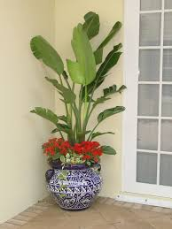 Tropical Potted Plants Outdoor - 25 best strelitzia nicolai images on pinterest bird of paradise