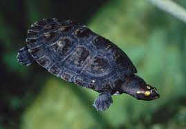 Ringed Map Turtle Graptemys Pseudogeographica Jpg Turtles Pinterest Turtle