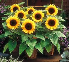 sunspot sunflower 25 seeds helianthus annuus yellow