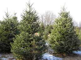 the northern new york gardener we u0027ve got your christmas tree