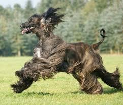 afghan hound coat colors afghan hound my doggy rocks