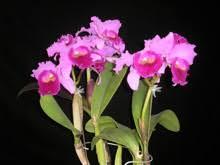 cattleya orchids orchids cattleya