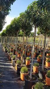 Laurel Topiary - portugese laurel tree prunus lusitanica topiary full standard tree