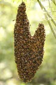 16 best bee swarm u0027s on unusual places images on pinterest bees