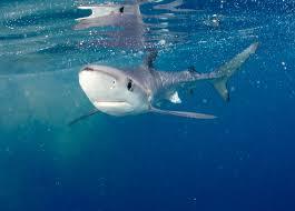 new york aquarium blue shark