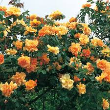 maigold most fragrant climbing roses fragrant