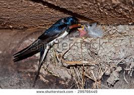 Barn Swallow Nest Pictures Barn Swallow Stock Images Royalty Free Images U0026 Vectors