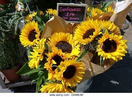 sunflowers for sale money sunflowers stock photos money sunflowers stock images alamy