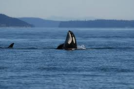 wild killer whales to get personal health records uc davis